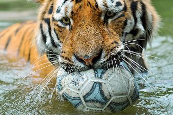 Tiger biting a soccer ball.
